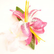Pink and white lily on a white background — Stock Photo