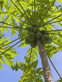 Papaya fruit — Stock Photo