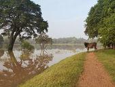 Kuh mit hochwasser — Stockfoto