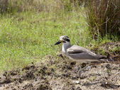 Great thick knee — Stock Photo