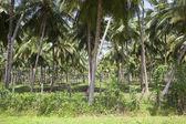 Kokosová plantáž — Stock fotografie