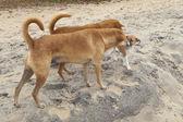 Pláž psi — Stock fotografie
