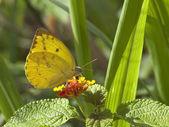 Sri lankan clouded yellow butterfly — Stock Photo