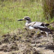 Great thick knee 2 - Stock Photo