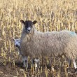 Shy spring lamb and ewe — Photo