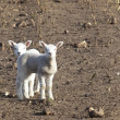 Spring lambs - Stock Photo