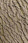 Ash tree bark texture — Stock Photo