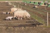 Free range pigs — Stock Photo