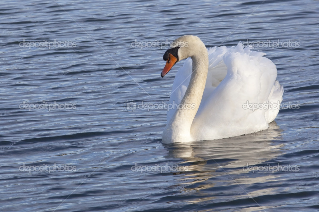 A beautiful white mute swan on blue rippled water — Stock Photo #5198122