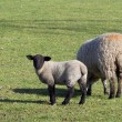 Stock Photo: Ewe and lamb 2