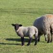 Ewe and lamb 2 — Stock Photo