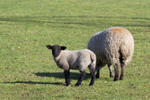 Ewe and lamb 2 — Stock Photo