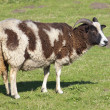 Stock Photo: Jacobs ewe