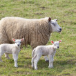 Ewe and twin lambs — Stock Photo
