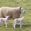 Stock Photo: Ewe and twin lambs