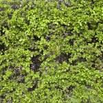 Hawthorn hedge — Stock Photo #5303444