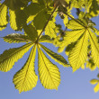 Horse chestnut leaves — Stock Photo