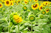 Field of young sunflowers — Stock Photo