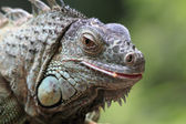 鬣鳞蜥鬣鳞蜥 — 图库照片