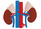 Vector human kidneys medicine anatomy — Stock Vector
