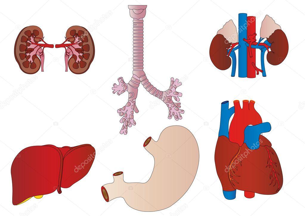 矢量一套内部的人的肾脏, 肝脏, 气管, 胃, 心 — 矢量图片作者 lelik
