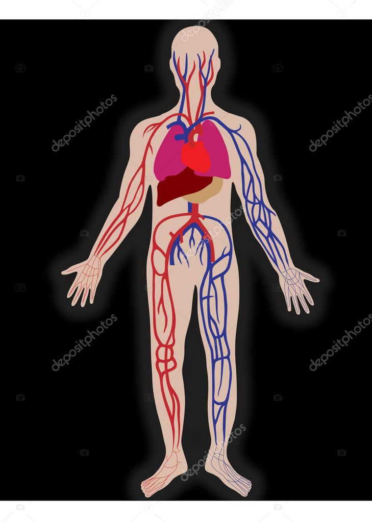 Vector blood system of the person — Stock Vector #5248152