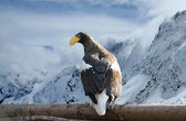 The Steller's Sea Eagle, is a large bird of prey in the family Accipit — Stock Photo