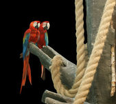 Parrot - red blue macaw. isolated on a black background — Stock Photo