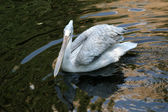 The large image of the big white pelican swimming in dark water — Stockfoto