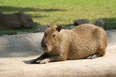 Bóbr europejski lub bóbr europejski (castor fiber), zoo, moskwa, federacja rosyjska — Zdjęcie stockowe