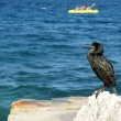 The Great Cormorant (Phalacrocorax carbo), known as the Great Black Cormora - Stock Photo