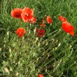 Red poppies on a background of green grass — Stock Photo