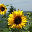 Sunflowers on a background of the sky and mountain valleys — Stock Photo