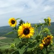 Stock Photo: Sunflowers on a background of the sky and mountain valleys