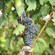 Ripe fresh vineyard grapes on the vine - Stock Photo