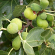 Natural ripe fruit on the fig tree — Stock Photo