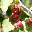 Natural fruit ripe on the branches of hawthorn — Stock Photo