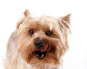 Portrait of a Yorkshire terrier — Stock Photo