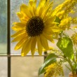 Sunflower in sunlit window - Stock Photo