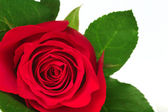 Blossom of a Red Rose — Stock Photo