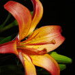 Orange Daylily on Black - Stock Photo