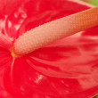 Flamingo Flower - Stock Photo