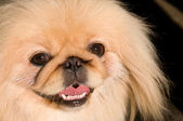 Pekingese dog. — Stock Photo