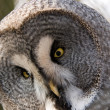 Great Gray Owl. — Stock Photo