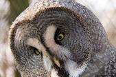 Great Gray Owl. — Stock Photo