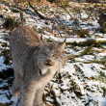 Canadian lynx. — Stock Photo