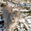 Canadien lynx — Stock Photo
