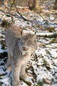 Canadien lynx — Stok fotoğraf