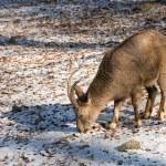 Sibirian ibex (Capra sibirica) — Stock Photo