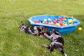 Puppies play. — Stock Photo